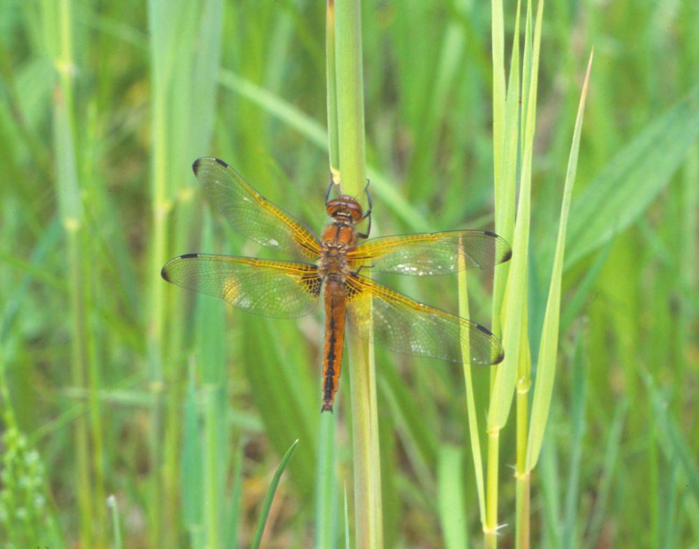 """Mit 47 nachgewiesenen Arten gehört das Juntersdorfer Teichgebiet zu den besten Libellenbiotopen im Land (Foto: """"Spitzenfleck"""")"""