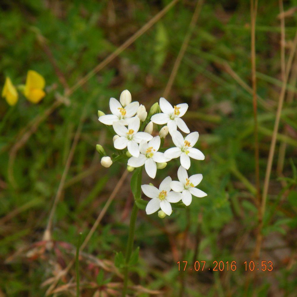 Weiss blühendes Tausendgüldenkraut, Schavener Heide